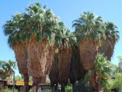 Washingtonia Filifera Untrimmed Palm