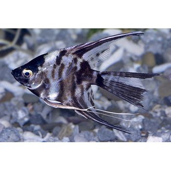 I Would Love To Get A Veil Angel But They Need At Least A 30gal Tank Angel Fish Fish Pet Aquarium Fish