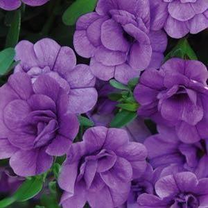 Calibrachoa Minifamous Double Amethyst Olive Garden Delivery Flowers Flower Garden