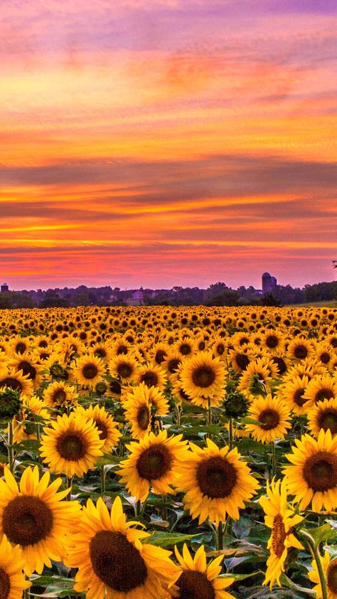 Sunflowers field sunset Iphone Wallpapers Hd - Best Home Design Ideas