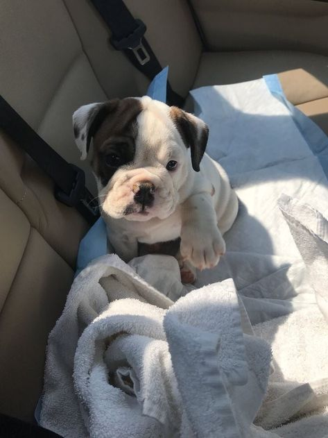Image about cute in cuties 🐶 by ellexgrey on We Heart It Cute Dogs And Puppies, Bulldog Puppies, Baby Dogs, I Love Dogs, Doggies, Teddy Bear Puppies, Puppies Puppies, Terrier Puppies, Boston Terrier