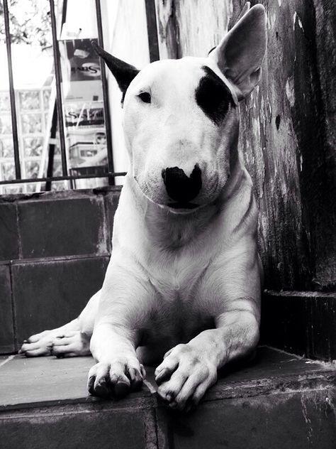 amazing #Bull #Terrier