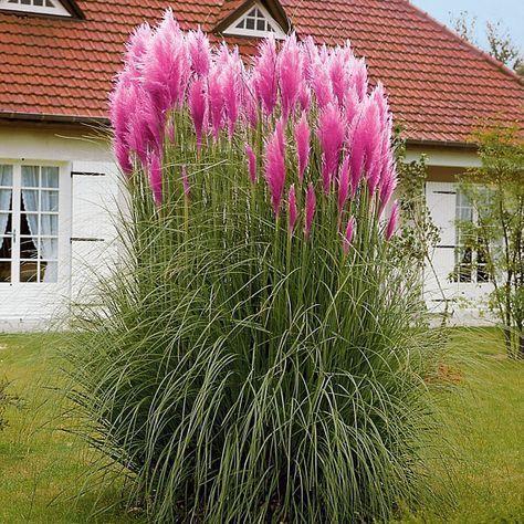 Rosa Pampas Grassamen Weisse Pampas Grassamen Cortaderia Sellona Schnell Wachsende Zierpflanzen Samen Mehrjahrige Blumensamen Blog Blo