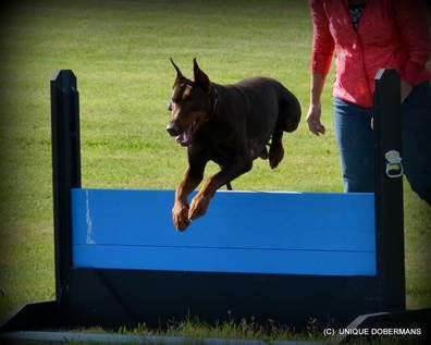 Picture Of Doberman Jumping Wall For Sale Doberman Doberman