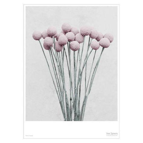 Foto Afdrukken 50x70.Botanica Craspedia Poster 50x70 Muurdecoratie Byjensen
