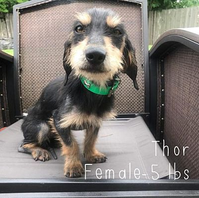 New York Ny Terrier Unknown Type Small Meet Thor Tx A Dog For Adoption Pets York Terrier Kitten Adoption