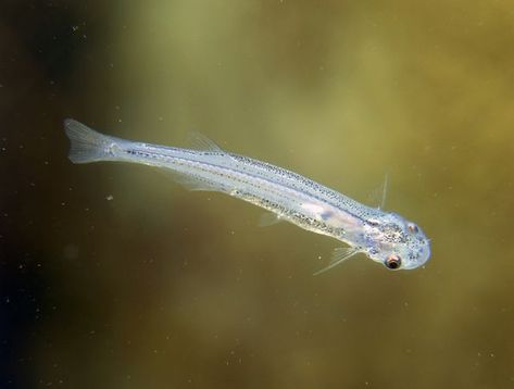 Candiru Photograph By Max Gibbs Getty Images Perhaps The Most