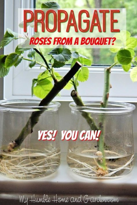 If You Love The Rose From Your Bouquet, Propagate It! - My Humble Home and Garden If You Love The Rose From Your Bouquet, Propagate It! - My Humble Home and Garden. Click through for this simple way of rooting roses and other flowers and herbs. Gardening For Beginners, Gardening Tips, Flower Gardening, Fairy Gardening, Gardening Vegetables, Growing Vegetables, Gardening Shoes, Gardening Services, Gardening Courses