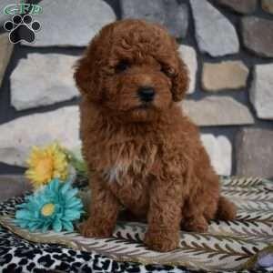 Mini Goldendoodle Puppies For Sale Mini Goldendoodle Puppies Goldendoodle Puppy Goldendoodle