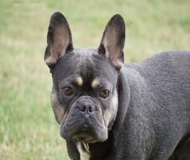 Dark Blue Tri French Bulldog Lenox Open To Approved Stud