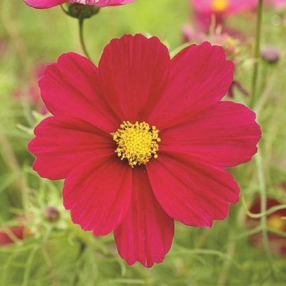 Dwarf Dazzler Red Cosmos In 2020 Cosmos Flowers Red Flowers Flowers