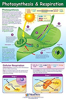 Amazon Com Photosynthesis And Respiration Poster Laminated Full Color 23 X 35 Industrial Scientifi Teaching Biology Biology Lessons Biology Classroom