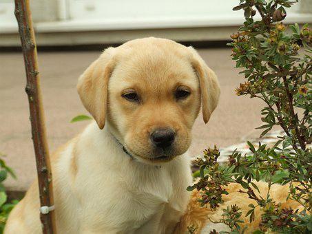 Labrador Breeders Essex Absolutely Amazing Labradorpup