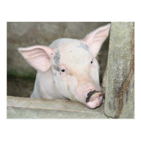 Piglet Postcard Zazzle Com Sweet Animals Piglet Animal Postcard