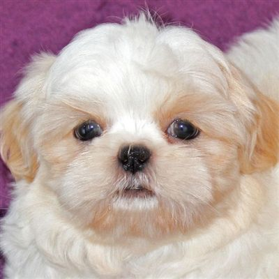 Shih Tzu Puppies For Sale Florida Dogs Breeds And Everything About Our Best Friends In 2020 Shih Tzu Puppy Puppies Puppies For Sale