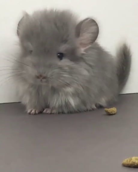 15 Images Of Baby Chinchillas That Will Melt Your Heart