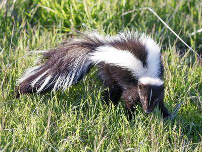 Caring For Pet Skunks Pets Skunk Skunk Repellent