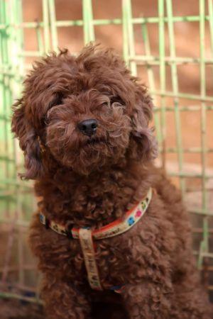 Terry Adoptable Dog Adult Male Miniature Poodle Dog Adoption