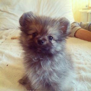 Chihuahua Pomeranian Mix Puppies Google Search Pomeranian