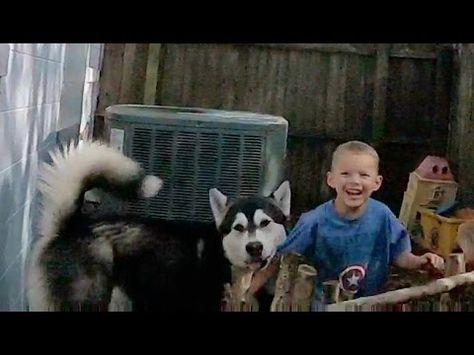 Clever Alaskan Malamute Finds Kids Hiding In The Backyard Hide