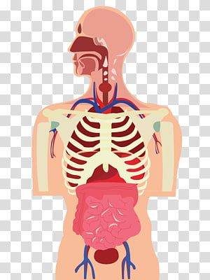 Human Body Organ Muscle Cartoon Human Body Transparent Background Png Clipart Human Body Organs Human Body Anatomy Human Muscle Anatomy