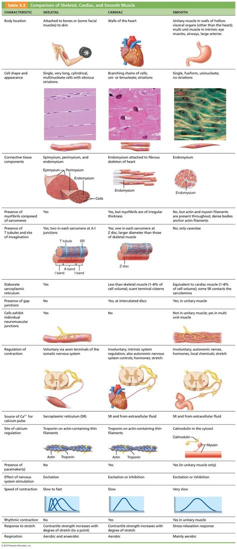 Chapter 9: Muscles and Muscles Tissue | ;bmpkLkl9iN | Pinterest ...
