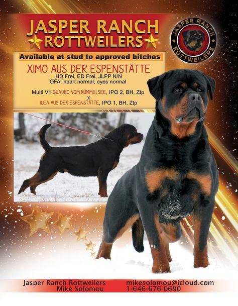 Jasper Ranch Rottweilers Rottweiler Rottweiler Breed I Love Dogs