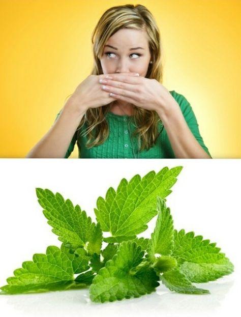 mintze kauen für frischen atem