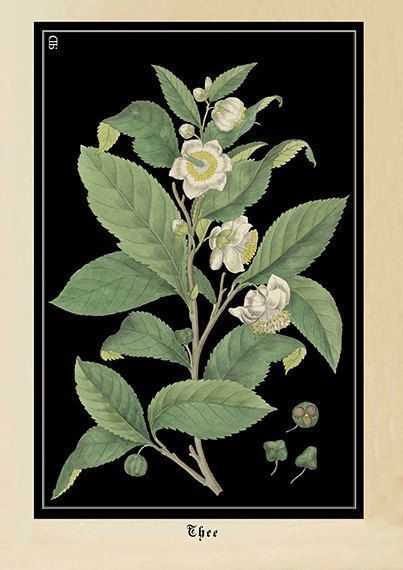 Tea Plant Art Print Botanical Camellia Sinensis Poster Vintage Style Kitchen Art Botanical Camellia Kitchen Pla In 2020 Plant Art Print Plant Art Art Prints