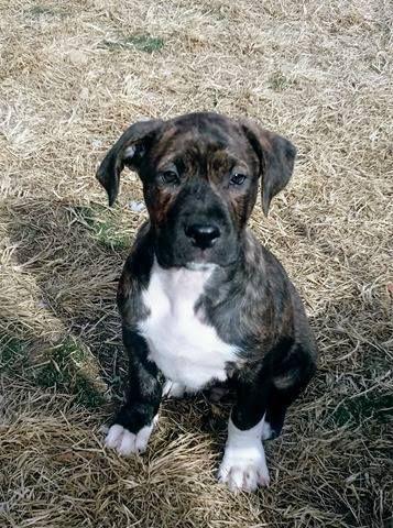 Adopt Rusty Puppy On Puppies Pitbull Terrier Pitbulls