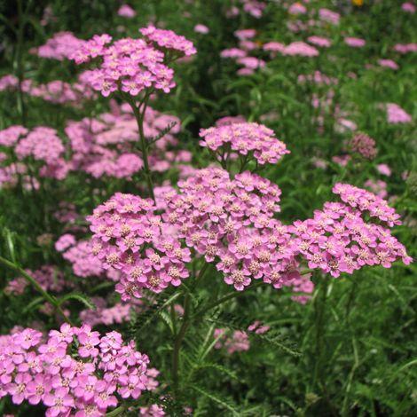 Achillea Millefolium Pink Island Form Island Pink Pink Island Pink Yarrow Achillea Millefolium
