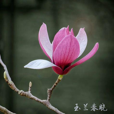 玉兰春晓 - 色彩, 花卉, 索尼, 玉兰 - 亚三2014 - 图虫摄影网