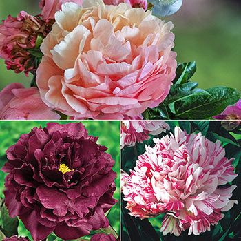 Distinctive Lifetime Peony Collection Part Shade Flowers Peonies Fragrant Flowers