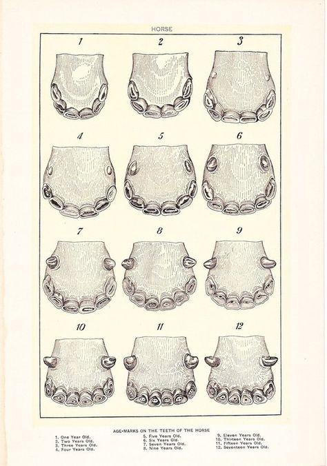 1912 Animal Print - Horse Teeth - Vintage Antique Home Decor Book Plate Art Illustration for Framing