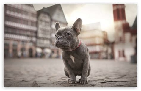 Frenchie Wallpaper Ecosia Grey French Bulldog French Bulldog