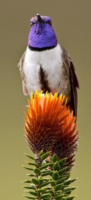 Equadorian Hillstar Hummingbird (by Glenn Bartley)