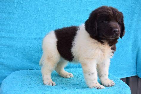 Dena Kate S Puppies Clumber Spaniel Havanese Puppies Puppies