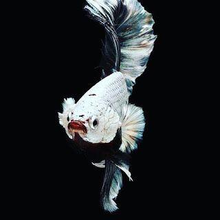 Wallpaper Ikan Cupang Ikan Cupang Ikan Gambar