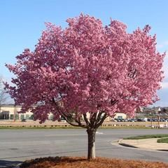 Kwanzan Cherry Trees for Sale | BrighterBlooms.com