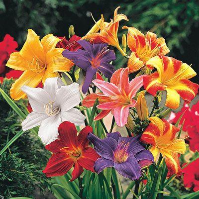 Dwarf Daylily Mix Day Lilies Daylilies Flowering Vines