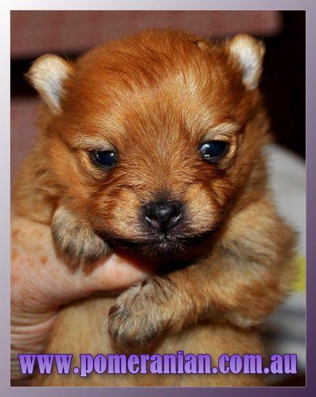 Pomerananian Pomeranianpuppy Dochlaggiepomeranianpuppy