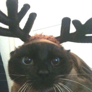 """""""happy"""" holidays cat"""
