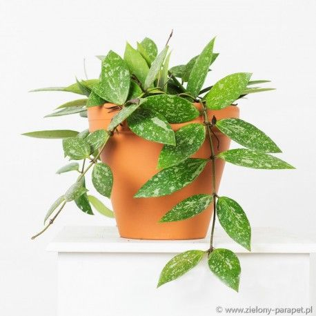 Hoya Gracilis Zielony Parapet Green Windows Parapet Window Sill