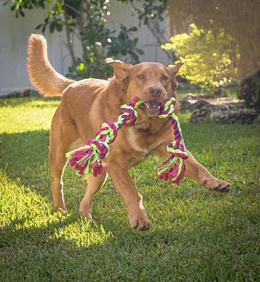 Naples Fl Golden Retriever Meet Henry 678 A Pet For Adoption