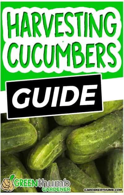 19+ When to pick pickling cucumbers info