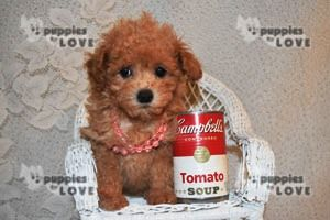 Poodle Toy Puppy For Sale In Sanger Tx Adn 71532 On