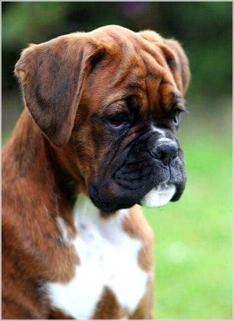 Have You Ever Wanted Dog Training Hacks Learn More By Checking This Article Dogtraining Boxer Puppies Boxer Dogs Funny Boxer Dogs