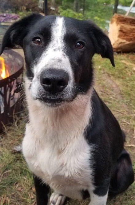 Lost Dog Lindstrom Border Collie Labrador Retriever Mix Female