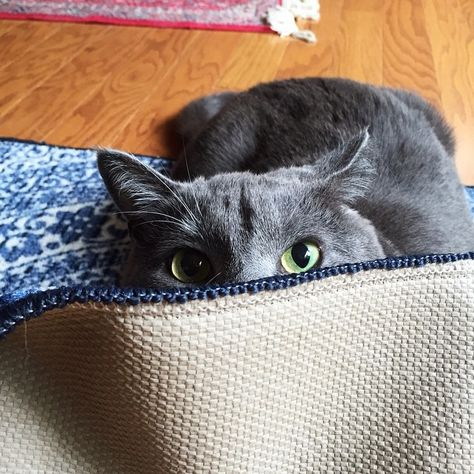 Thanks For The New Carpet I Claim Dis Russian Blue Russian Blue Russian Blue Cat Blue Cats