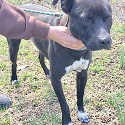 Pictures Of Titus A Pit Bull Terrier For Adoption In Morehead Ky